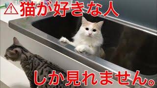 ねこ #ベンガル #スコティッシュ 特に何も起きないので、 この動画を見れた方は本物の 猫好きでございます。笑 動画内のルアさんは間違いで...
