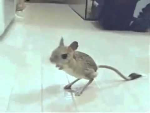 Super rare!! Grown mice ornithopod 超新奇!! 老鼠長出鳥腳