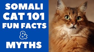 Somali Cats 101 : Fun Facts & Myths