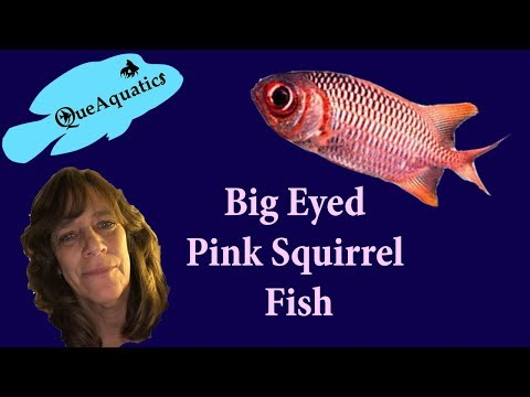 My Big Eyed Pink Squirrel Fish, Is A Hardy Saltwater Fish. Myripristis Pralinia And/or Pink Soldier.