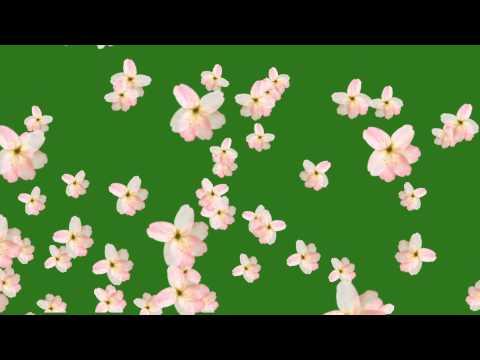 Flower fall green screen free hd thumbnail