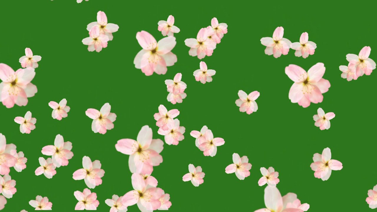 Flower Fall Green Screen Free Hd   YouTube