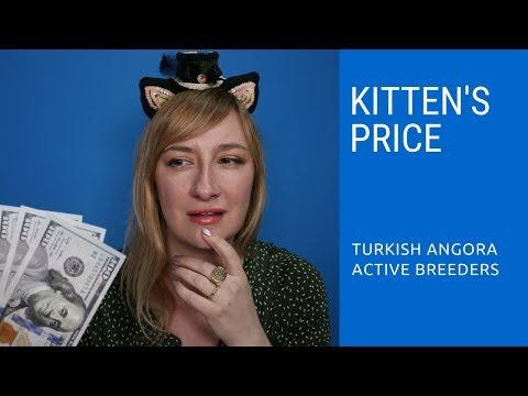 Turkish Angora Kitten Price