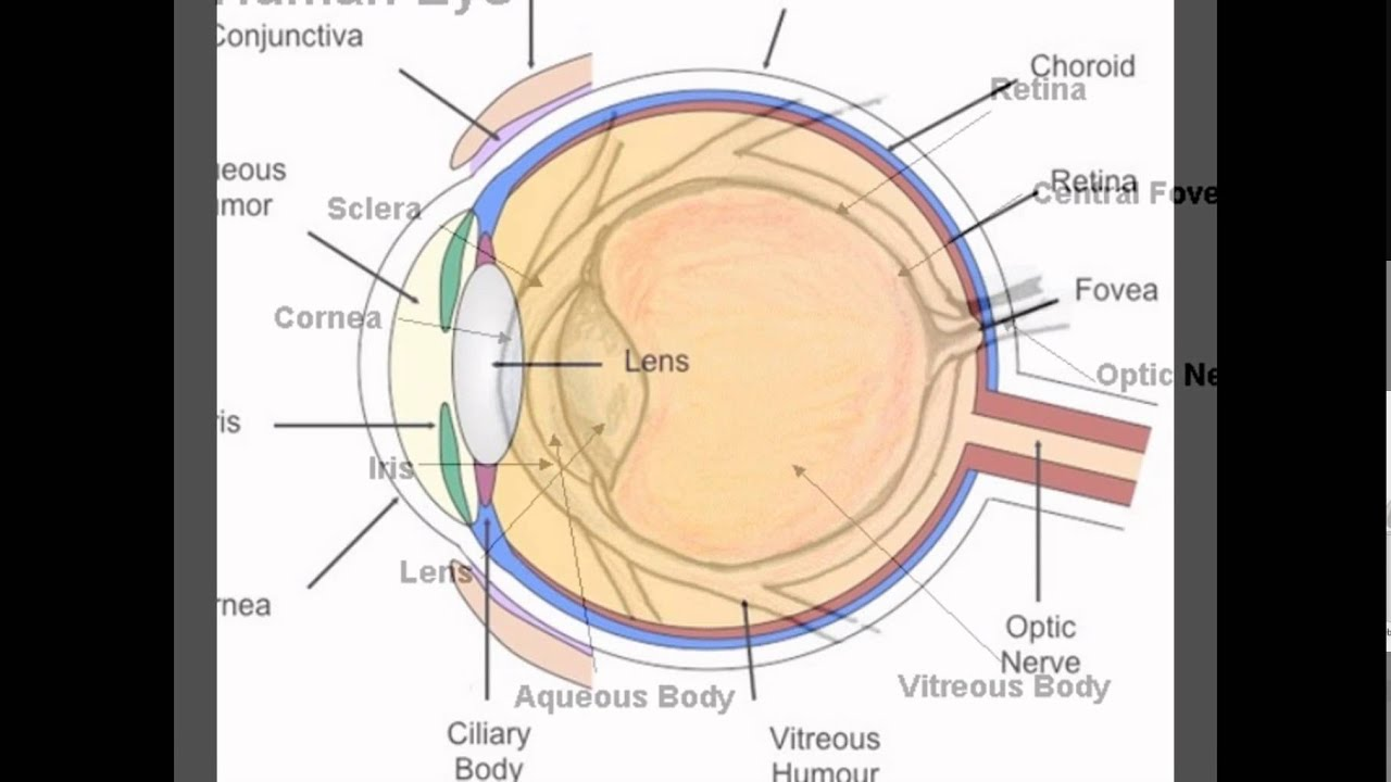 Diagram of human eyes youtube diagram of human eyes pooptronica Choice Image