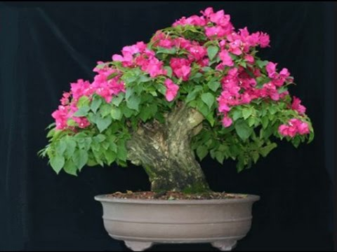 How To Grow Bougainvillea Bonsai Tree Grow Thick Trunk In The Ground Mammal Bonsai