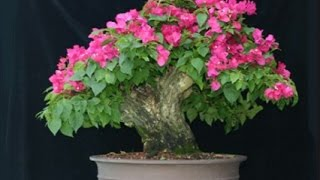 How to Grow Bougainvillea  Bonsai tree |  Grow thick trunk in the ground // Mammal Bonsai