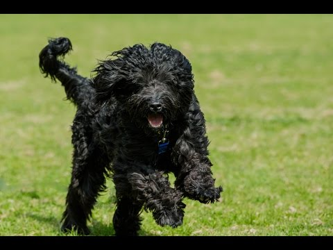 Phin - Portuguese Water Dog - 4 Week Residential Dog Training at Adolescent Dogs