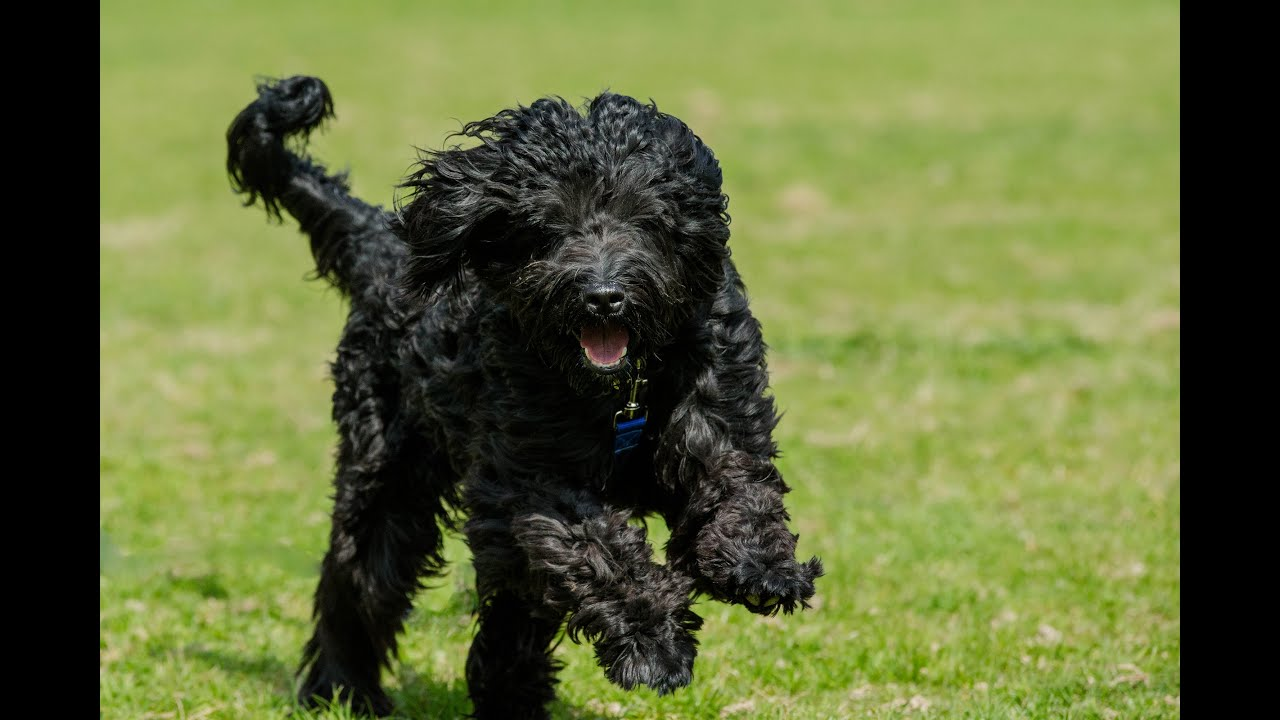 Phin Portuguese Water Dog 4 Week Residential Dog