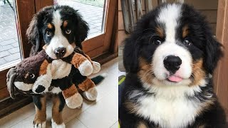 Funniest & Cutest Bernese Mountain Puppies  Funny Bernese Mountain Dog Puppy Video Compilation 2021