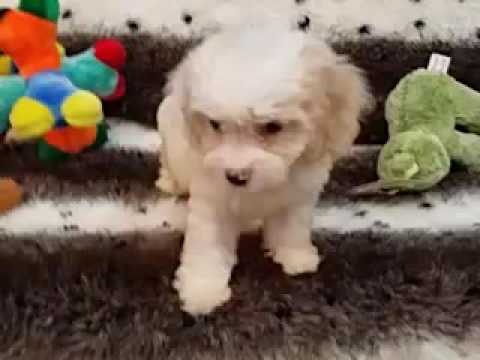 SUCH A SWEET COCKAPOO FEMALE PUPPY!