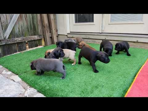 4 week old Cane Corso puppies