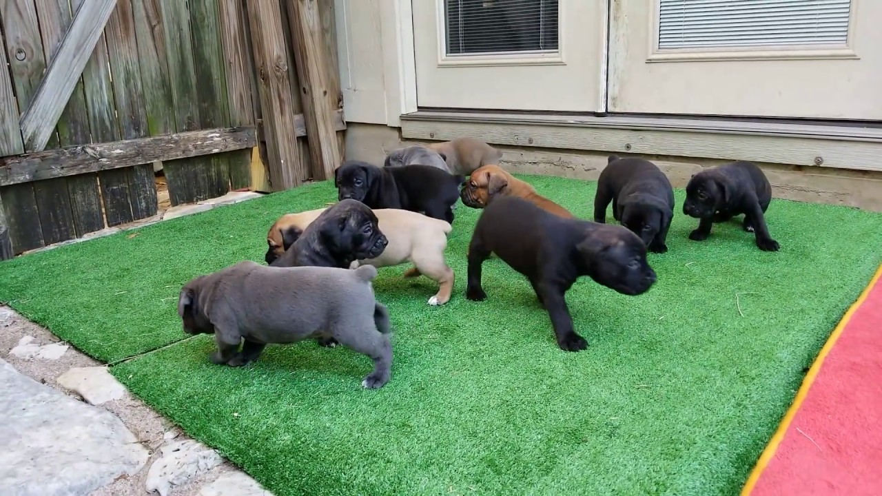 4 Week Old Cane Corso Puppies Youtube