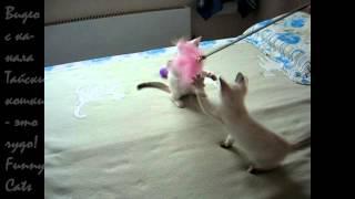 Какие разные характеры у двух тайских котят-сестрёнок! Тайские кошки - это чудо! Funny Cats