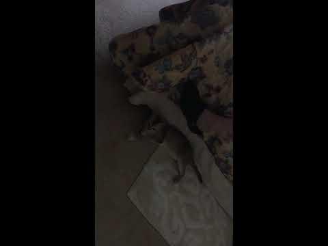 playful singapura cat