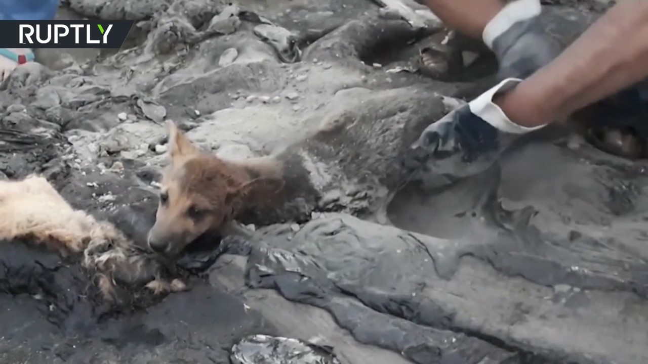 3 puppies rescued from pit of tar in Russia