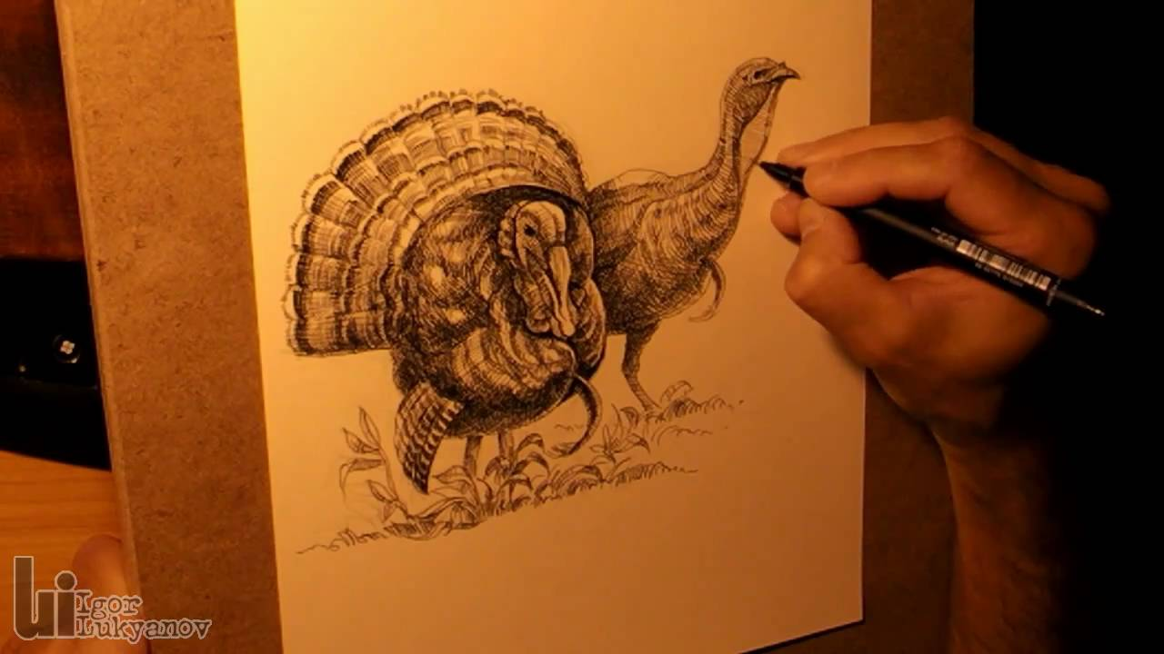 Drawing Male And Female Turkeys Youtube