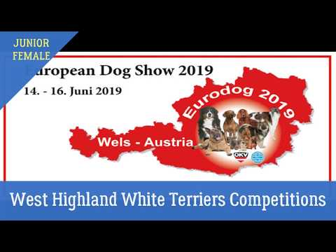 Female Junior. West Highland White Terrier. Austria Eds 2019