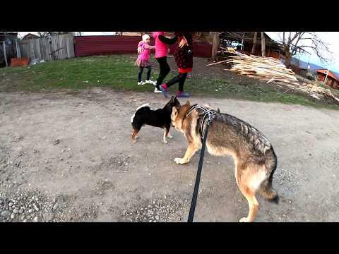 Прогулка с ВОЛКОМ Аявриком по хутору в магазин. Волк против собак/волк Vs собака.