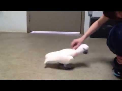 Molana, Moluccan cockatoo up for adoption
