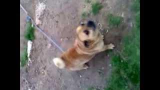 Half Pug Half Chihuahua
