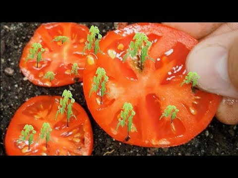 how-to-grow-tomatoes-from-seed-fast-and-easy-way!-works-every-time!!