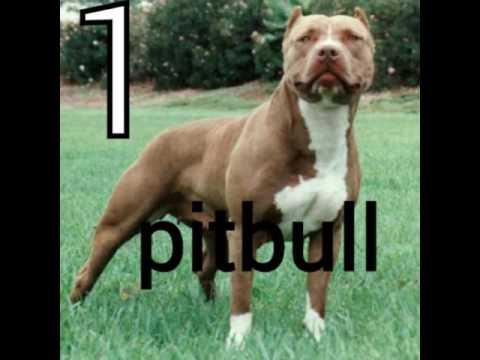 Les 10 chien les plus dangereux du monde - YouTube