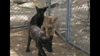 Женщина спасла трёх щенков волка Но она даже не ожидала что произойдет дальше
