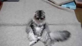 うちの猫はスコティッシュフォールドという猫です。 この猫はスコ座りと...
