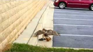 hawk vs snake hawk fights and attacks a snake in a fight to the death