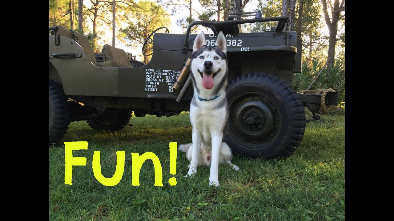 Husky on Military Jeep Willys! (So Much Fun!)
