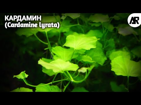 Кардамин   Сердечник Японский   Сердечник Лировидный   (Cardamine lyrata).