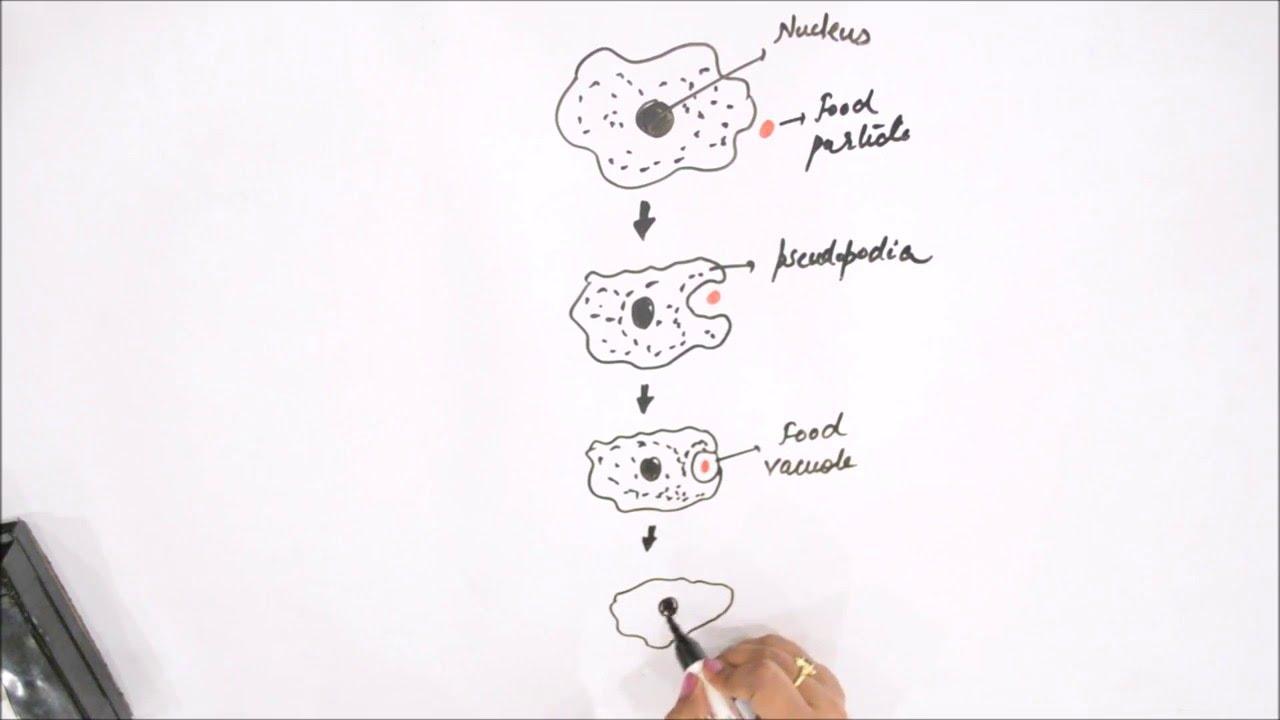 label amoeba diagram [ 1280 x 720 Pixel ]