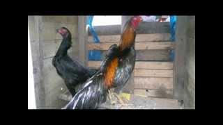 asil, (aseel) brazilian, chu-shamo, kulang, miawali, shindi chicken part 3