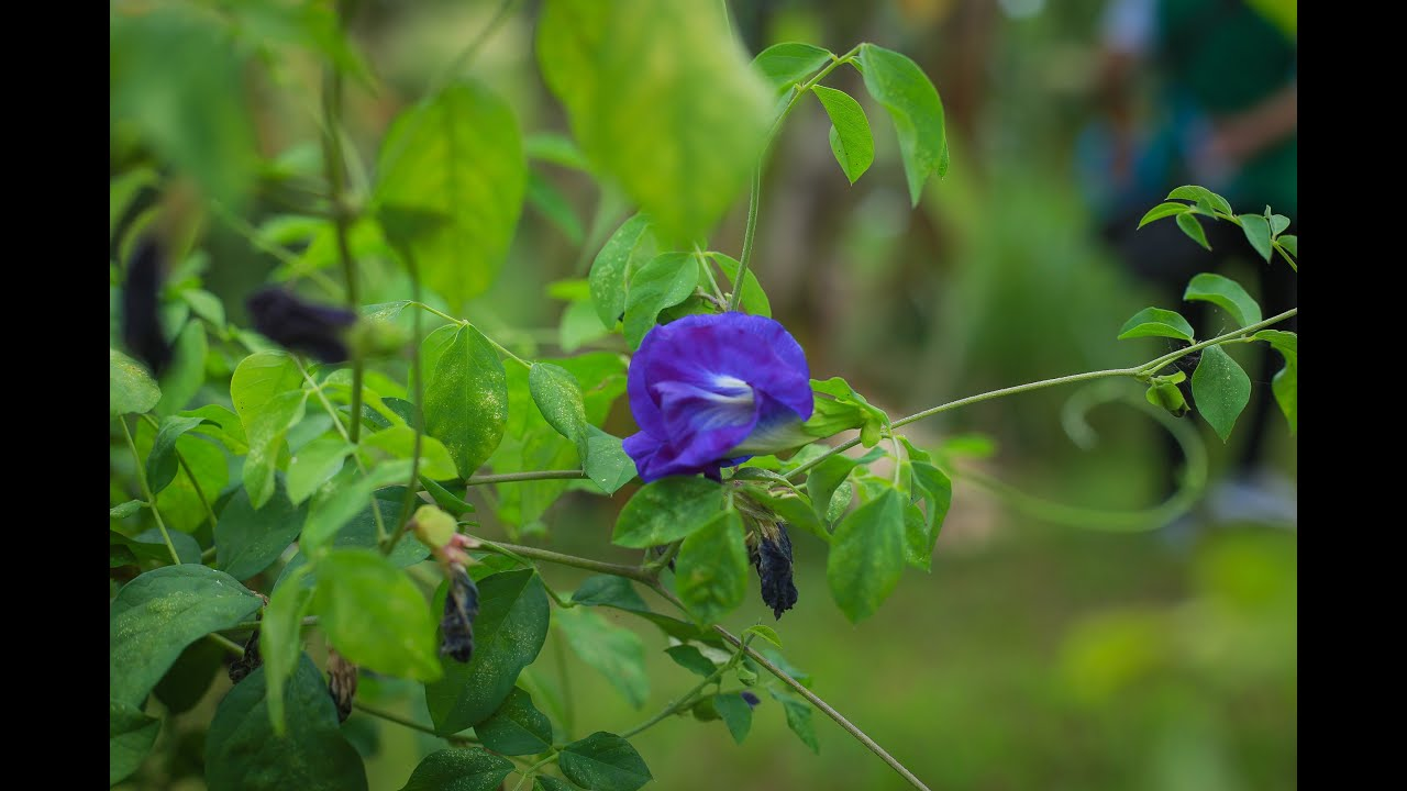 Urban Agriculture in the Philippines  YouTube