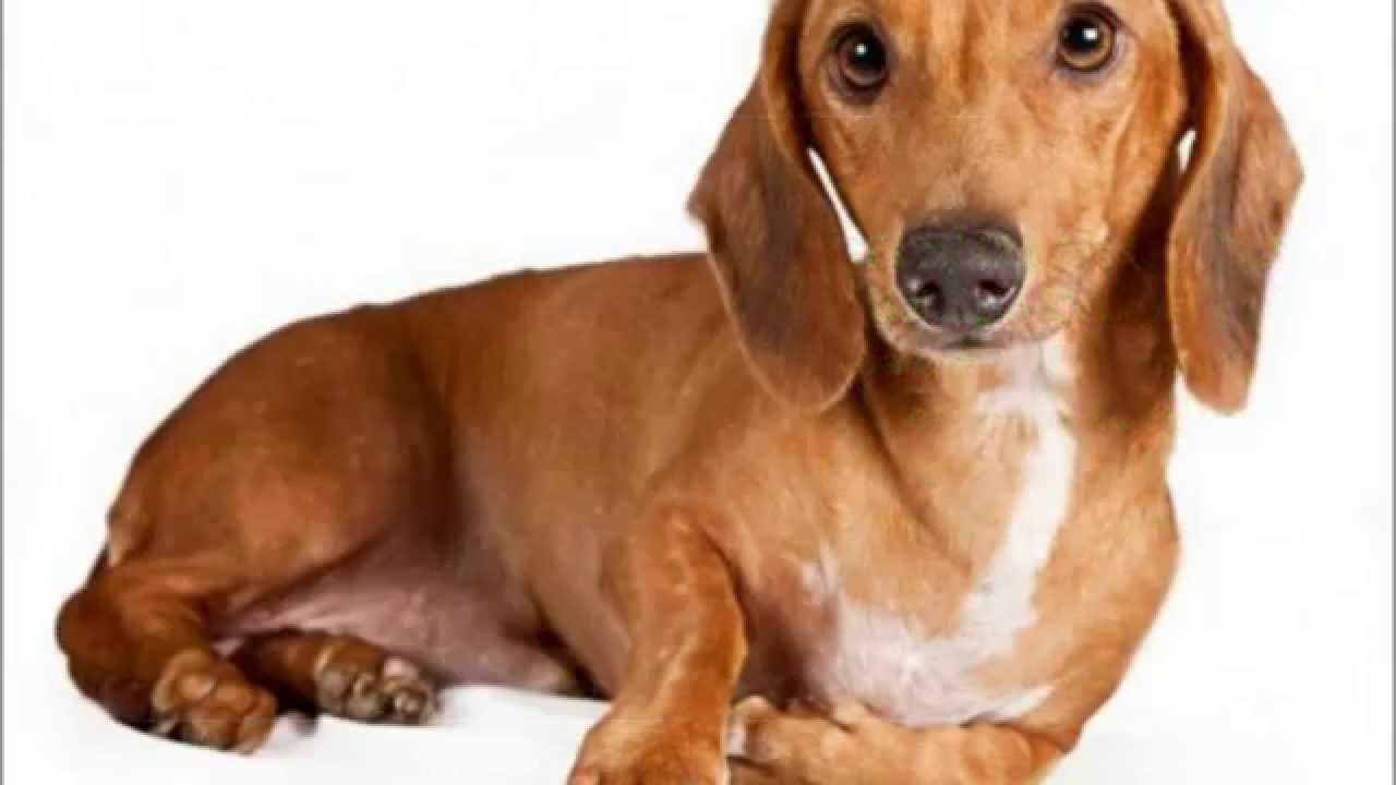 Razas de perros Dachshund Perros Salchichas YouTube