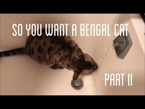 SO YOU WANT A BENGAL CAT II 'the bad' part II