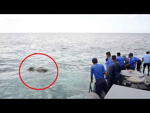 This Elephant Was Drowning Nine Miles Out To Sea. Then The Navy Team  Arrived