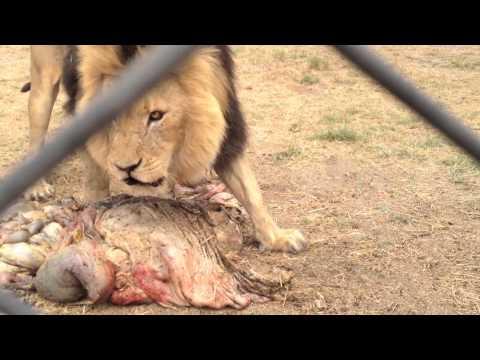 Lion Feed Antelope Park, Zimbabwe