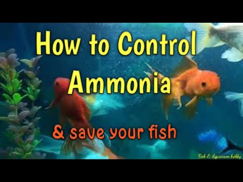 How To Control Ammonia & Save Your Fish's
