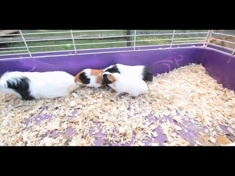 Pros & Cons of Pet Guinea Pigs | Small Pets