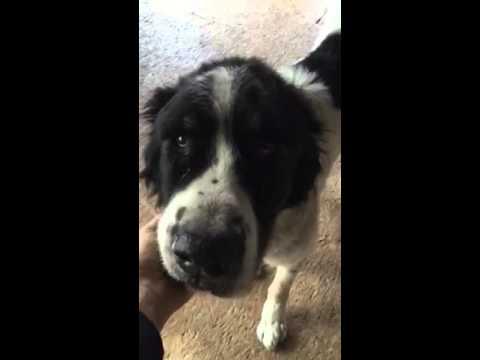 Как кашляет собака видео