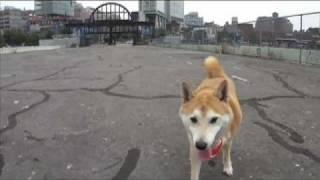 Nyc Shiba Walk: Hudson River Park Off Leash Dogs