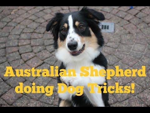 Dog Tricks - Australian Shepherd Bear