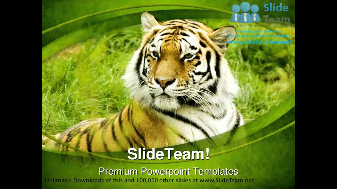 Amur tiger animals powerpoint templates themes and backgrounds ppt amur tiger animals powerpoint templates themes and backgrounds ppt layouts youtube alramifo Choice Image