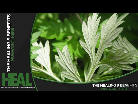 The Healing And Benefits of Mugwort Herb