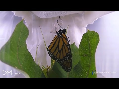 Caterpillar Transforms into a Butterfly, Metamorphosis Time Lapse