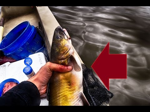 Video Catfish puncture wound treatment