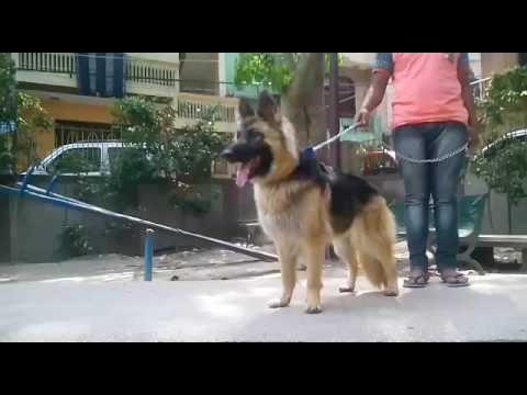 german shepherd adults for sale india