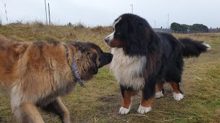 A LEONBERGER AND BERNISE MOUNTAIN DOG PLAYING