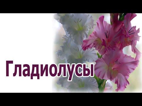 Как я выращиваю гладиолусы